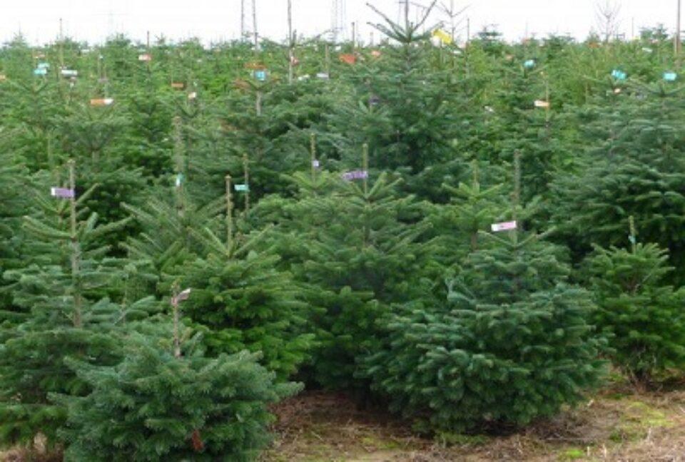 Weihnachtsbaumplantage1