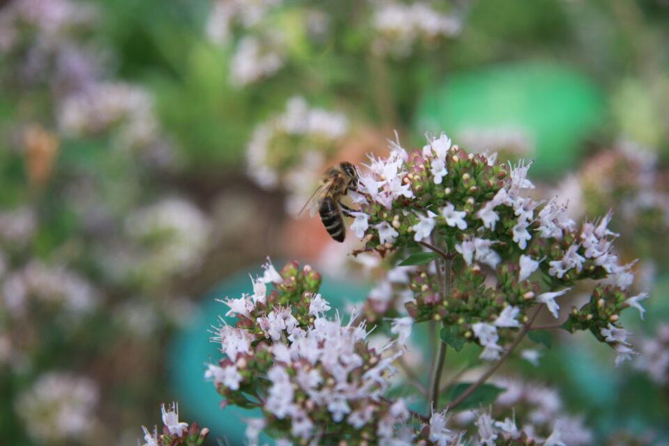 Mario Knecht Gartengestaltung Basel Wildbiene 2