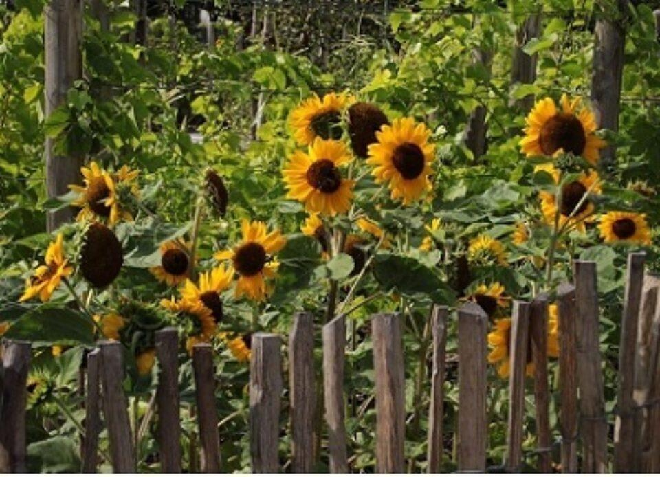 Sonnenblume Gartenhag