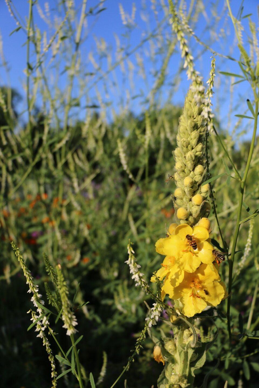 Wildblumen Königskerze Mario Knecht Gartengestaltung