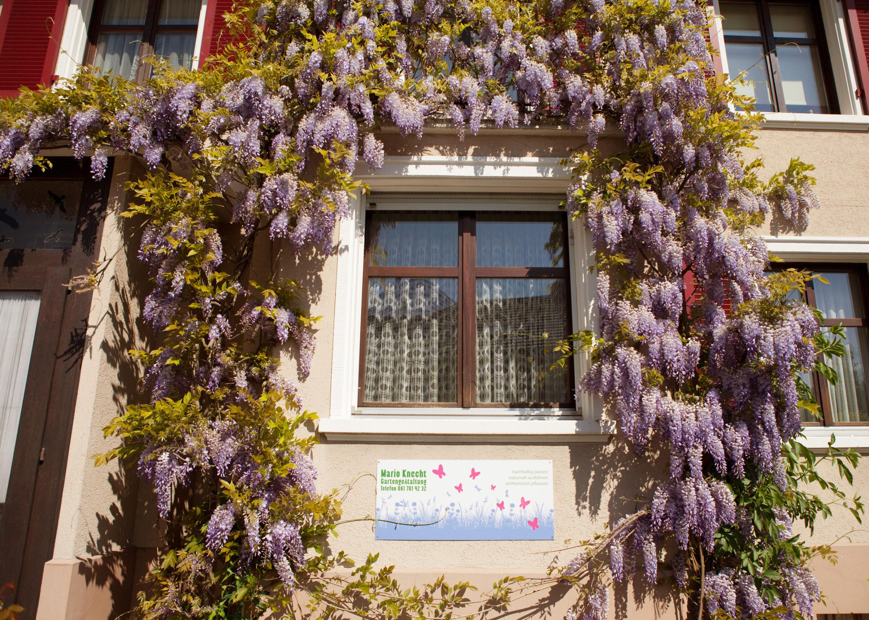 Mario Knecht Gartengestaltung Basel Glyzinie